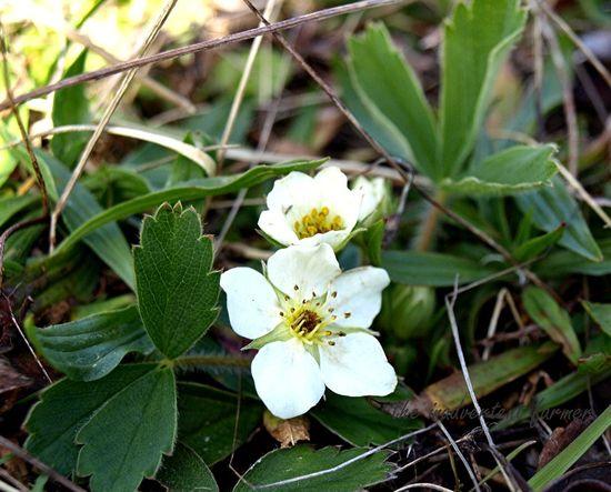 Spring strawberry wild blossom
