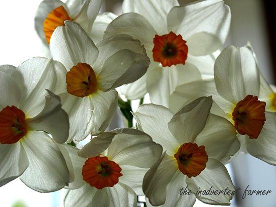 Vase of daffodils5
