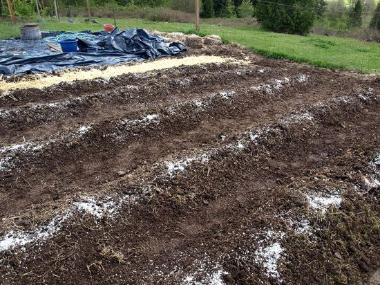 Tomato rows oyster shells
