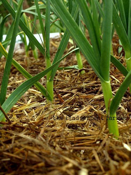 Garlic patch with straw