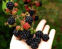Blackberry picking4