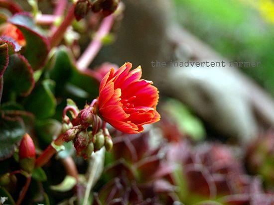 Orange succulent