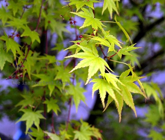 Green maple japaneses