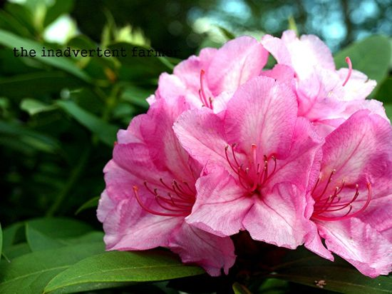 Rhododendron head pink