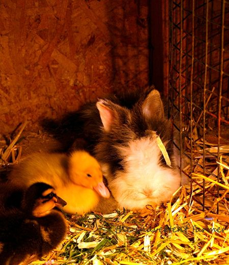 Bunny and duck babies sleeping