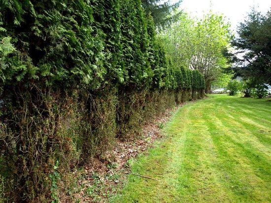 Deer damage hedge