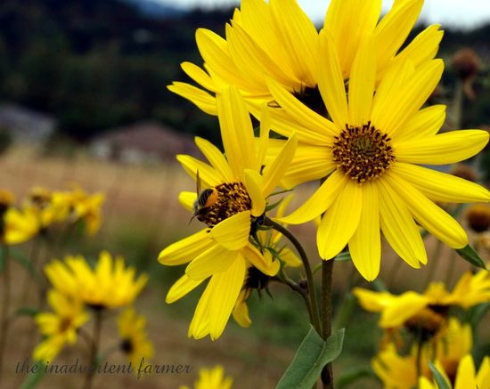 Yellow daisy bee 1