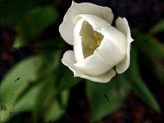White tulip frame spring