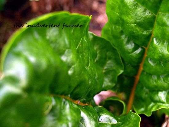 Swiss chard macro green yellow