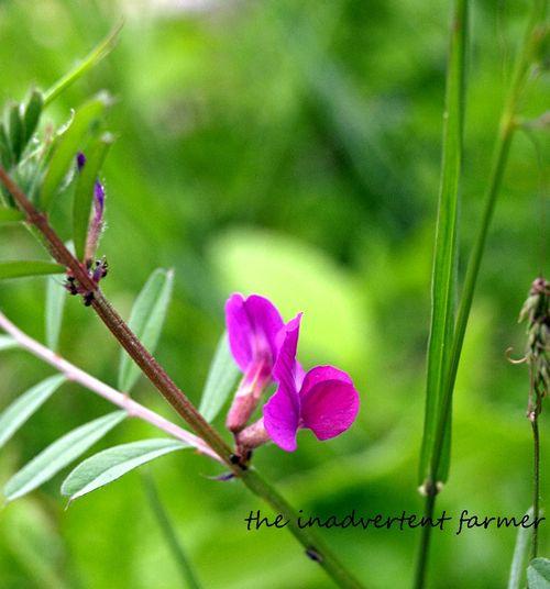 Purple weed rain