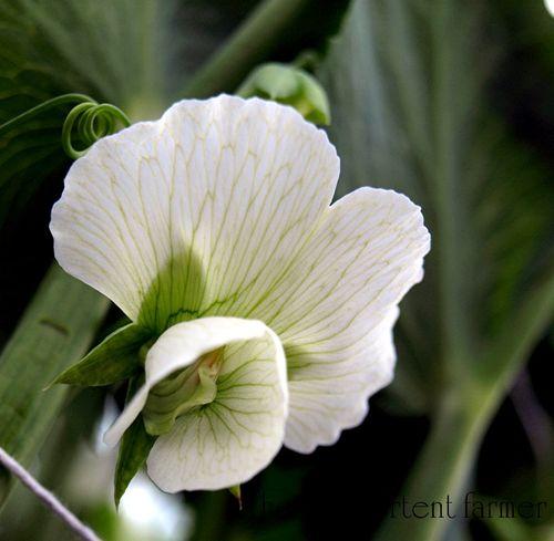 Pea blossom white