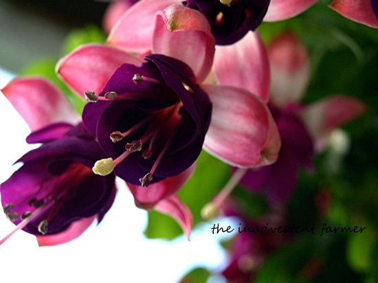 Fuschia blossom pink purple