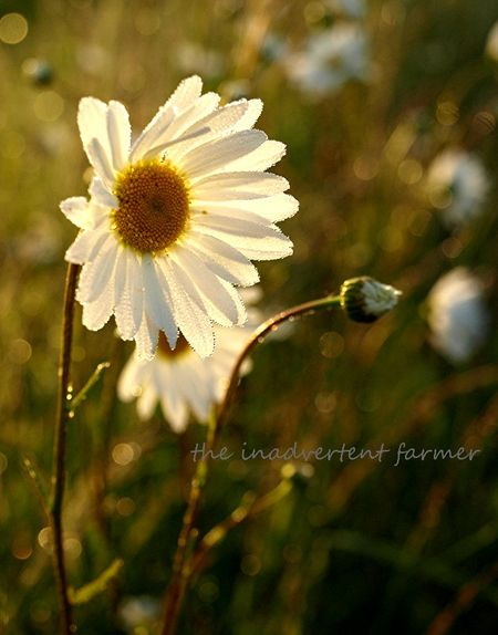 Daisy glow sunrise glisten backlit