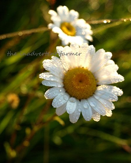 Daisy glow sunrise glisten backlit 5