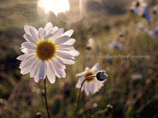 Daisy glow sunrise glisten1
