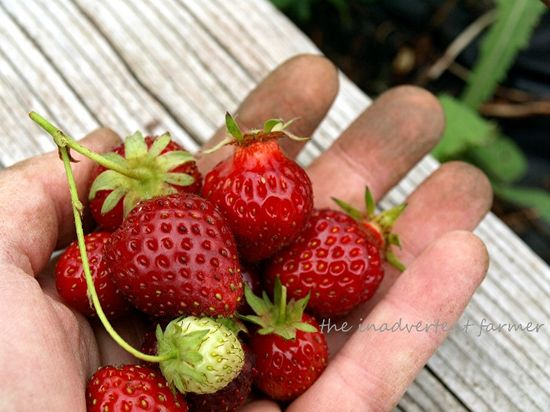 Strawberries dirty hand red picked summer