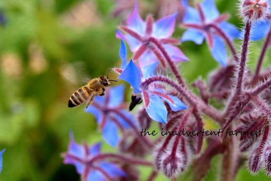 Honey bee in flight on flower blue borage