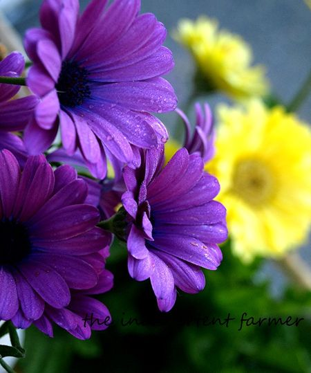 Daisies purple yellow gerbera