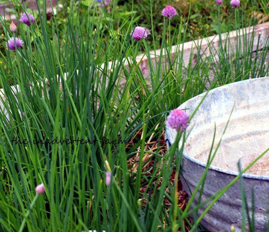 Old wash tub garden chives
