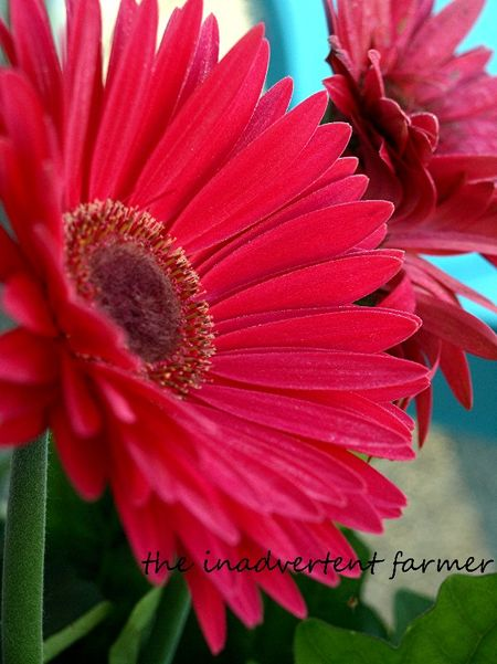 Gerbera daisy hot pink dawn
