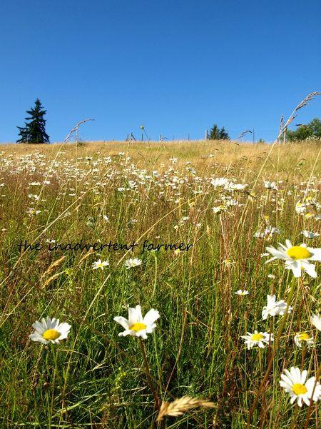 Field of daisies blue sky summer