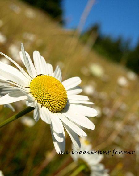 Field of daisies daisy summer