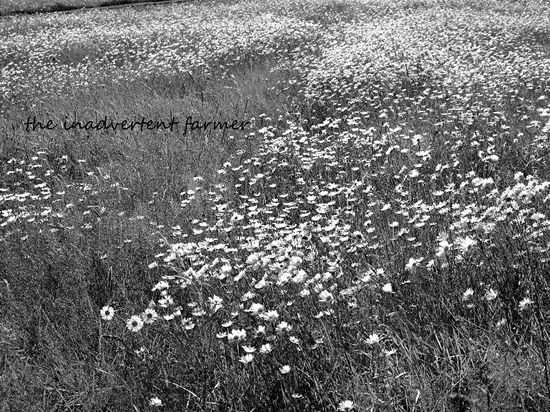 Field of daisies black white