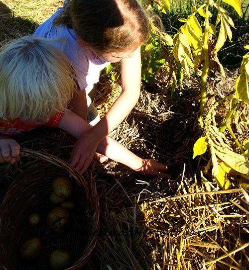 Potato harvest boy girl garden