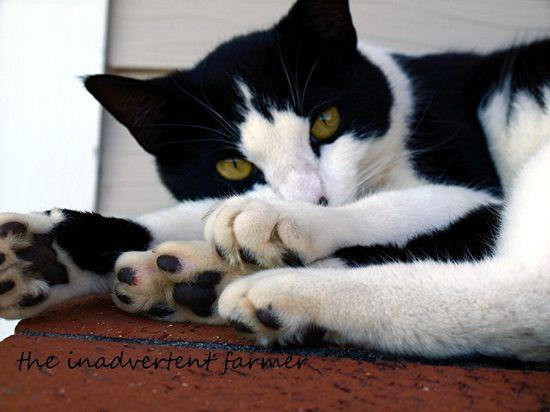 Farm cat white black gold eyes