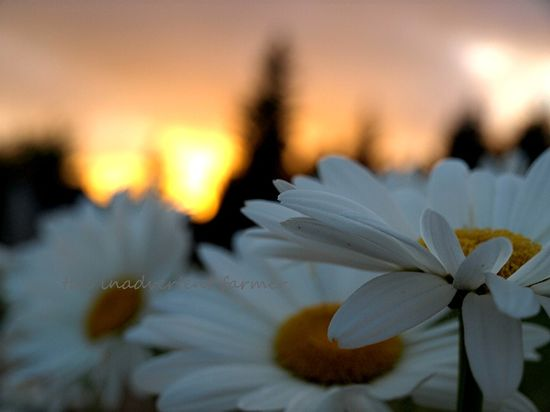 Daisies at sunset clouds