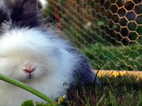 Lionhead bunny rabbit white