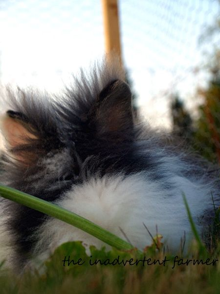 Rabbit ears long hair lionhead