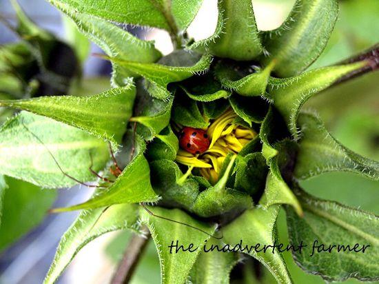Sunflower bud ladybug beetle