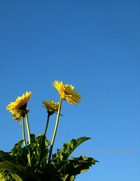 Yellow daisies blue sky