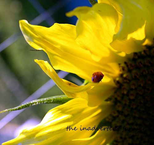 Sunflower lady bug beetle petal