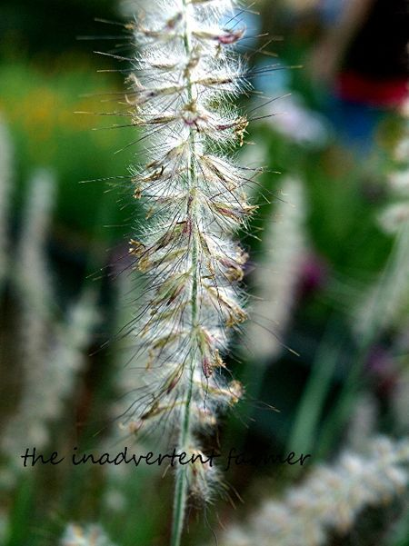 Feather grass macro