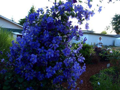 Master gardener clematis purple