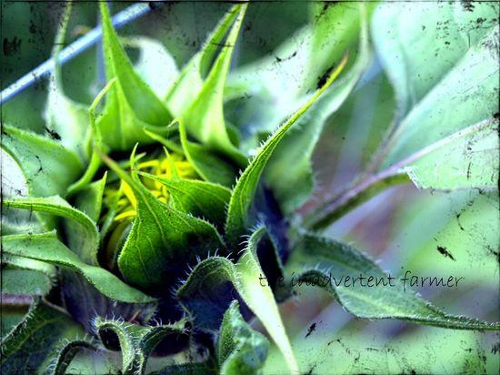 Sunflower bud opening texture