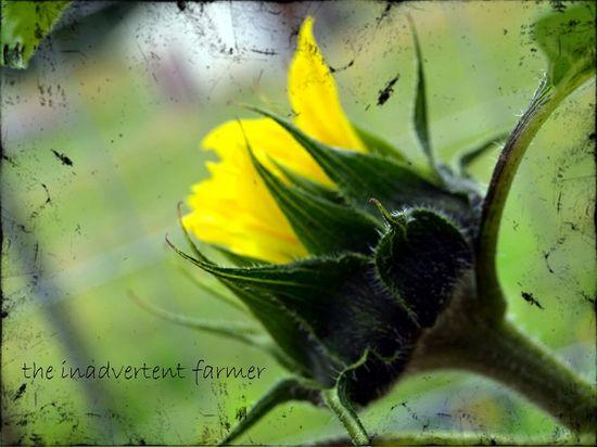Sunflower bud texture