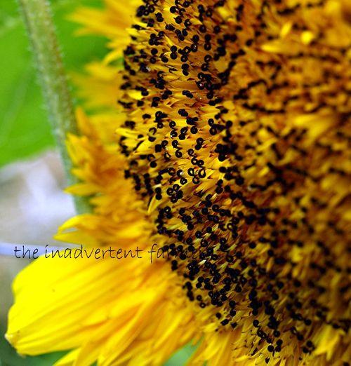Sunflower center tendril yellow