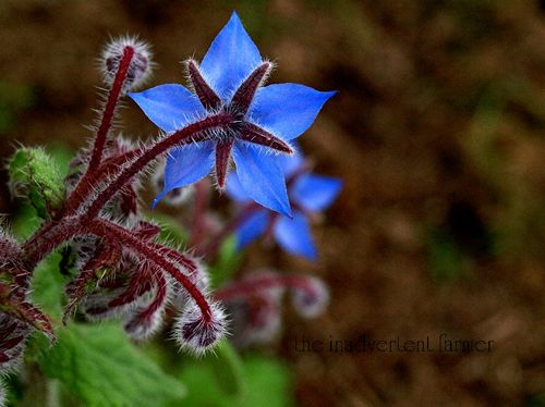 Borage back blue