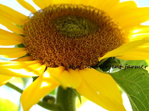 Sunflower horizontal macro sunlight