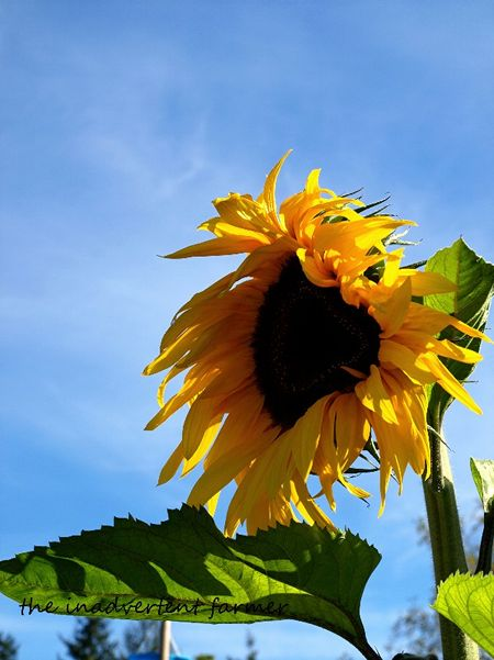 Sunflower blue sky mammoth
