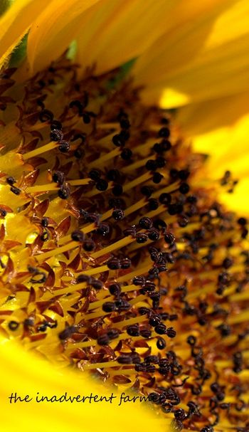 Sunflower slice head