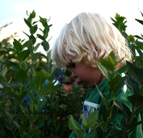 Blueberry boy picking