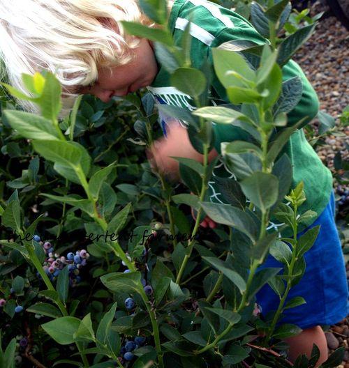 Blueberry picking boy