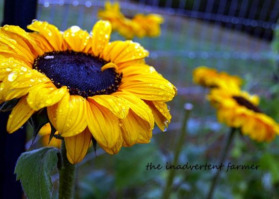 Sunflower daisy yellow rain