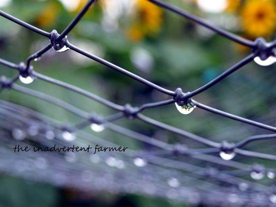 Raindrop sunflowers fence