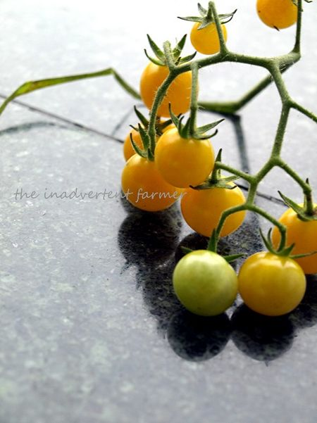 Tomatoes yellow white currant