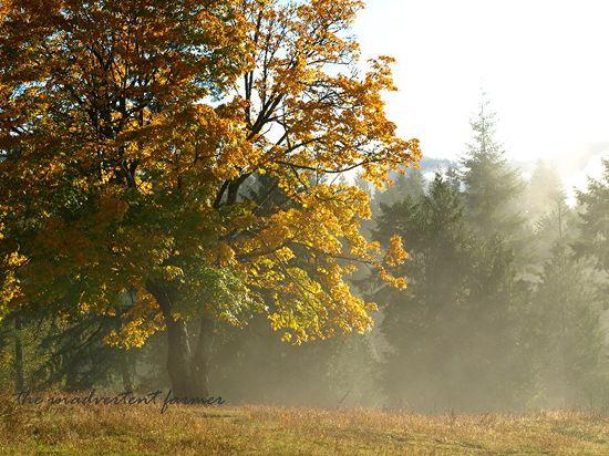 Tree maple autumn colors